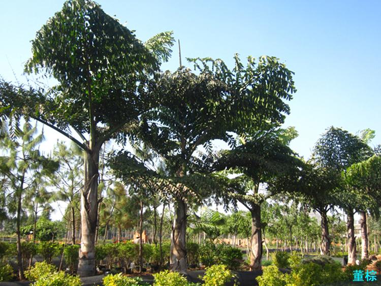 【筑意园林景观设计】棕榈类-南方常用园林植物